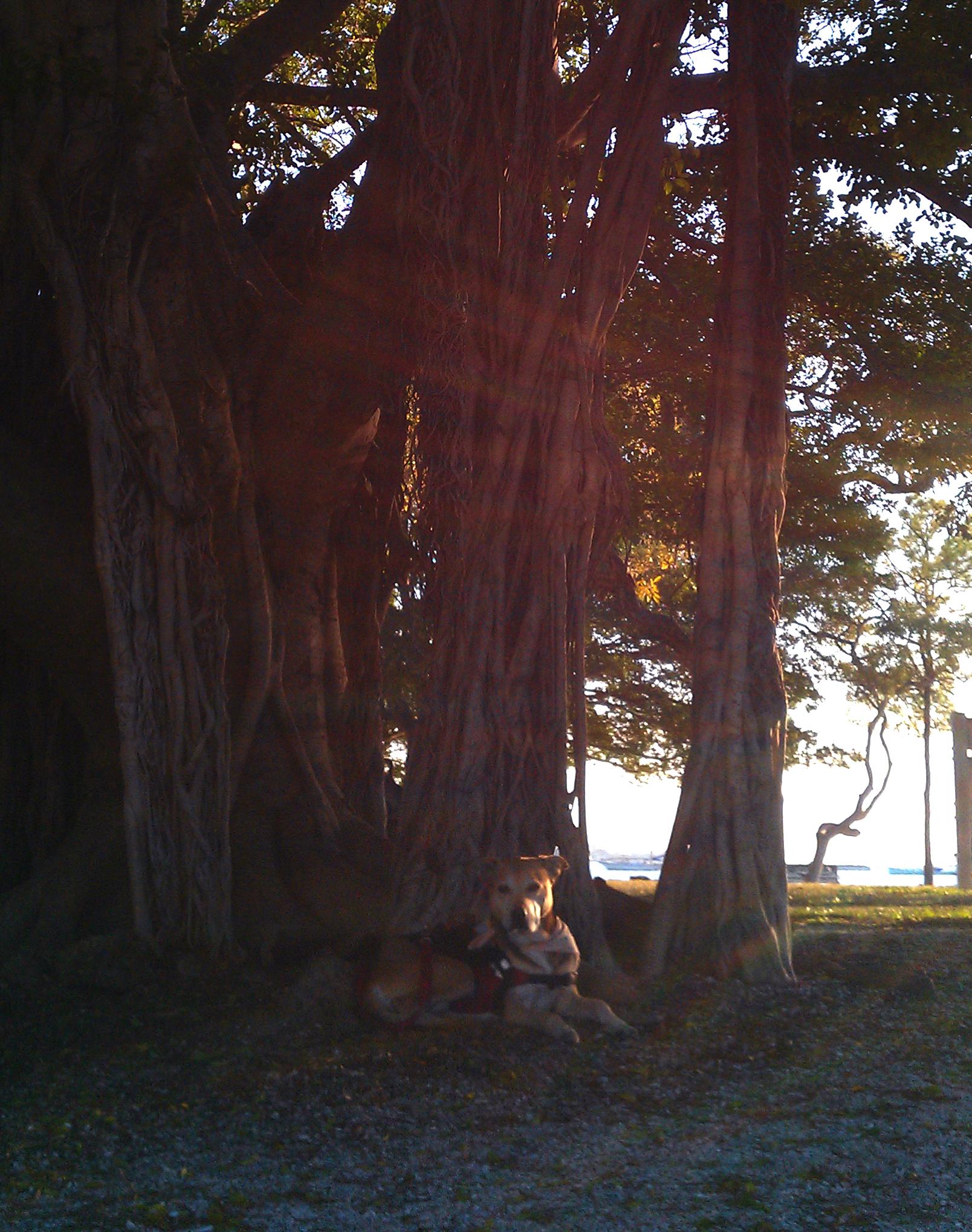 rocky sarasota tree 2011